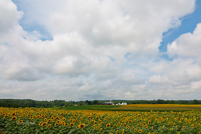 Day 215: NJ Sunflower Fields - August 2.  A gorgeous blue sky, puffy white clouds and fields of golden sunflowers.  A perfect morning and place to be out with the camera.  Needs to be seen in large size for all of the detail in the image.