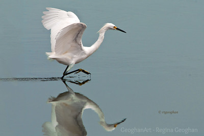 Day 221: Snowy Egret Fishing- August 8.  It was fun watching this guy fish for his lunch yesterday - NJ Meadowlands.