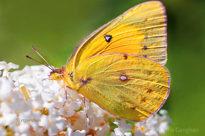 Day 240: Orange Sulphur Butterfly - August 27.  I haven't seen an Orange Sulphur in a while and this one was stunning to watch flitting around with its gorgeous vivid color.