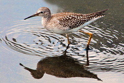 Day 239: Shorebird Lesser Yellowlegs - August 26.  These birds are turning up in the NJ Meadowlands, along with thousands of sandpipers as they mgrate south for the winter. Thanks to all who posted the wonderful comments yesterday about my sunflower images.