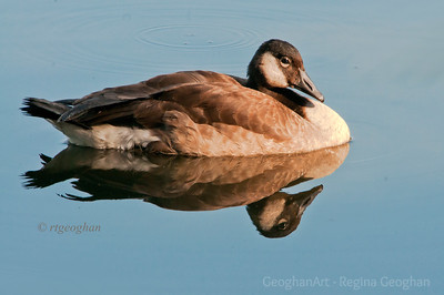 Day 229: Canada Goose - August 17.  This Canada Goose made a great subject sitting in still water with a clear reflection and bathed in golden sundown color.