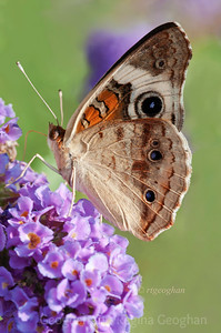 Day 236: Butterfly Common Buckeye - August 23.