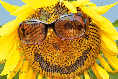 Day 237: Sunflower Fun - August 24.  Went to yet another sunflower field today - one more of the NJ Audubon SAVE program fields.  This was the 'most fun' photo of the day.