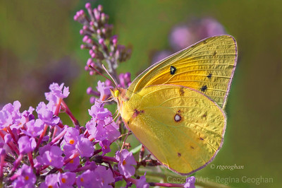 Day 242: Orange Sulphur Butterfly- August 29. Another sighting of a beautiful Orange Sulphur Butterfly yesterday.