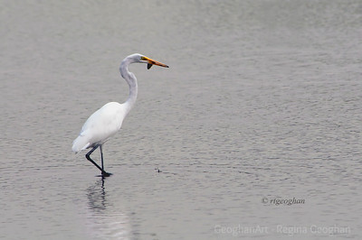 Day 228: Great Egret - August 16.   Lunchtime catch. .