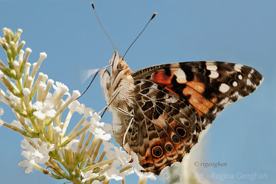 Day 244: Painted Lady Butterfly - August 31. Had this butterfly image, taken at mid-day yesterday, selected for my post today but then snapped a beautiful almost full moon rising over the skyline during the sundown golden hour . So decided to post both,