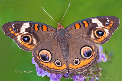 Day 233: Butterfly Common Buckeye - August 20.  First one that I've seen this season.