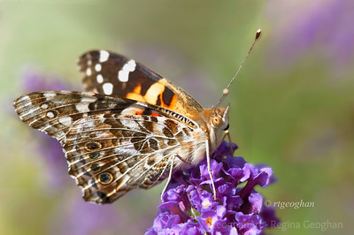 Day 234: Butterfly Painted Lady - August 21.  Lots of these pretty Painted Lady butterflies congregating on the butterfly bushes yesterday and today.