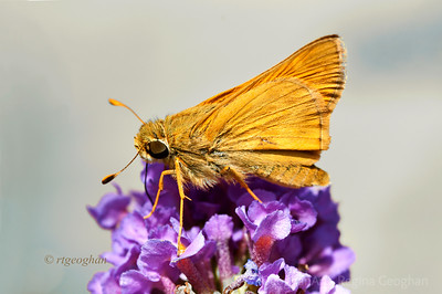 Day 235: Butterfly Least Skipper - August 22. I love watching the little Skipper butteflies. I believe this one is a Least Skipper - smaller than a dime