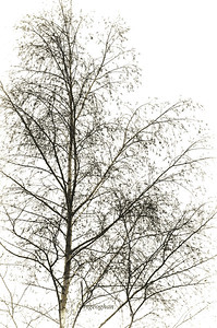 Day 343: White Birch Trees - Dec 9.   Was intrigued by the etching effect of the tree branches against the foggy white sky.