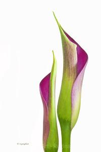 Day 52: Calla Lily Plant- February 21, 2012.