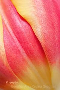 Day 41: Tulip Closeup - February 10, 2012