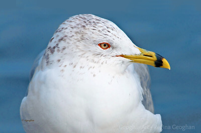 Day 35: Portrait Ring-billed Gull - February 4, 2012.  The bright yellow beak and eye and the red eye marking are indications of a breeding adult.