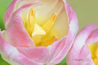 Day 47: Two Pink Tulips - February 16, 2012.