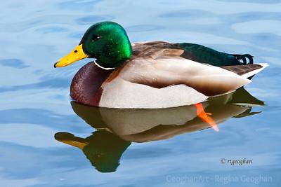 Day 35: Duck Mallard Drake - February 4, 2012