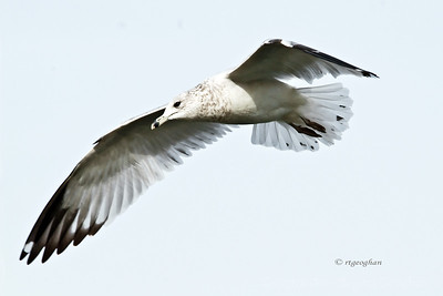 Day 29: Ringbilled Gull in Flight - January 29, 2012.