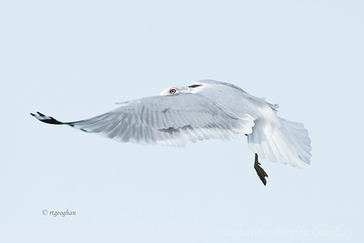 Day 29:  Gull Ballet  - January 29, 2012.  A second post for today.  Caught this unusual position this afternoon when photographing gulls and the more that I look at it the more interesting it seems.  Curious to know what you all think.