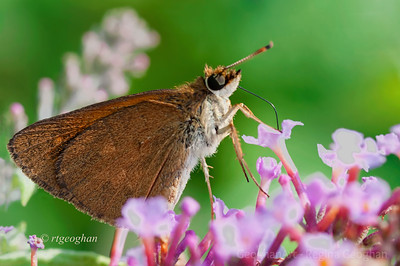 Day 206: Butterfly Broad-winged Skipper - July 24