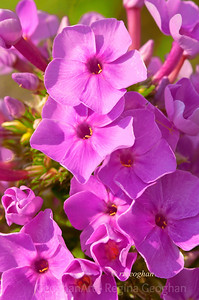 Day 201: Pink Phlox - July 19.  Saw a small cluster of these pretty pink flowers along the road and stopped to grab my picture for the day yesterday before the storms began.