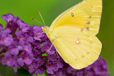 Day 199: Orange Sulphur Butterfly - July 17.