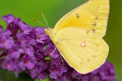 Day 199: Orange Sulphur Butterfly - July 17.