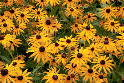 Day 194: Black-eyed Susans - July 12.  If you view in large size you will see a small Red Adminal butterfly perched on one of the flowers.
