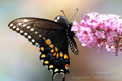 Day 193: Black Swallowtail Butterfly - July 11.  This beautiful black swallowtail was my butterfly find of the day yesterday at mid day.