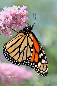 Day 192: Monarch Butterfly - July 10.  Another Monarch sighting yesterday at noontime.  So beautiful.