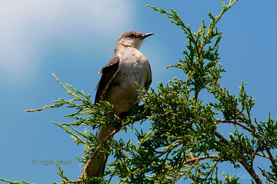 Day 195: Northern Mockingbird- July 13.  Caught this Mockingbird yesterday while on a mid day walk in the NJ Meadowlands.