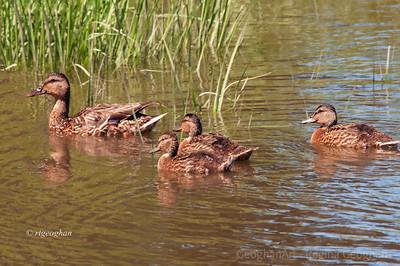6.Day 208: Ducks - Mallard Family- July 26.