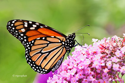 Day 181: Monarch Butterfly - June 29, 2012.  A pleasure yesterday to see my first Monarch of the summer.