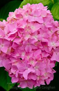 Day157: Pink Hydrangea - June 5, 2012