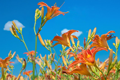 Day168: Orange Day Lilies - June 16, 2012.