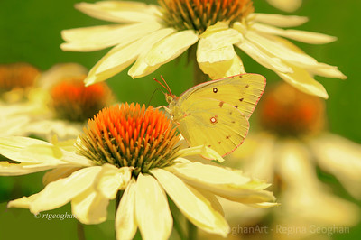 Day 182: Orange Sulphur Butterfly on Yellow Coneflowers - June 30, 2012.  Can't believe it is the end of June already.  It was a fun photo month with beautiful flowers, rainbows, the Enterprise Shuttle, lightning storms and newly arriving butterflies. Looking forward to July.