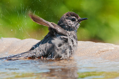 Day 173: Catbird in Birdbath - June 21, 2012.   This little catbird had the right idea in the sweltering noonday sun yesterday.