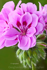 Day155: Pink Geranium - June 3, 2012. Happy 'Jubilee' to all of the UK Smuggers out there.