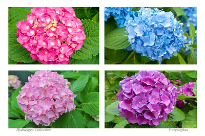 Day164: Hydrangea Collection - June 12, 2012.  Magnificent hydrangea colors in the front yards around the neighborhood.