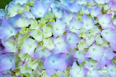 Day153: Hydrangea Flower - June 1,2012.
