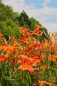 Day 172: Orange Day Lilies - June 20, 2012.  Snapped these beautiful day lilies yesterday afternoon at a park in NJ Meadowlands.