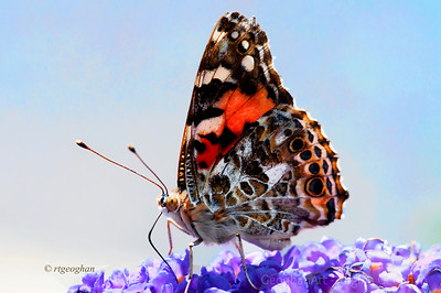 Day 177: Painted Lady Butterfly- June 25, 2012.  Another butterfly today.  It was so nice so see the butterflies starting to arrive here in the warm weather.