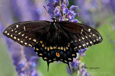 Day 140: Black Swallowtail Butterfly - May 19, 2012