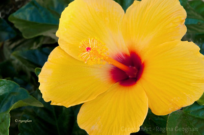 Day 134: Yellow Hibiscus - May 13, 2012.  HAPPY MOTHER'S DAY to all of the SmugMug moms out there.  Have a wonderful day.