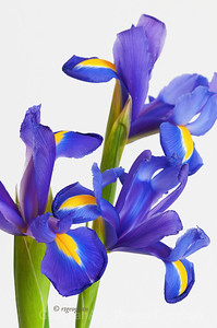 Day 135: Blue Iris Trio - May 14, 2012.  From my Mother's Day bouquet.