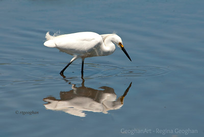 Day152: Snowy Egret - May 31, 2012.  A happy photo op to end the dailies for May of this year.  Went for a noontime walk in the NJ Meadowlands - not a good time to find birds.  There were very few around but came across this snowy egret having a great time fishing for his lunch.