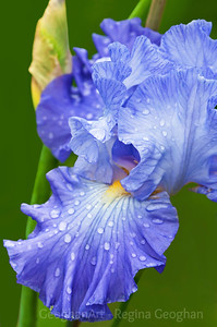 Day 136: Iris in the Rain - May 15, 2012. Thanks very much to everone who has commented on my flowers picutres over the last week. I really appreciate the support and encouragement. Drove to the public iris garden that I enjoy so much yesterday only to be rained out after about 20 minutes. But waited in my car until the storm passed and was rewarded with lovely opportunities for shots with raindrops.