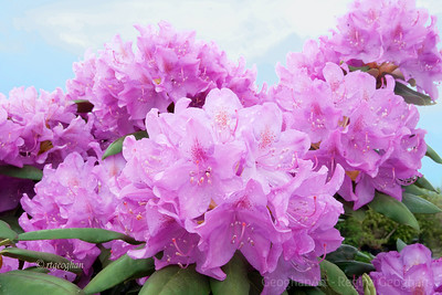 Day 131: Pink Rhododendrons - May 10,2012