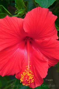 Day 130: Red Hibiscus - May 9,2012
