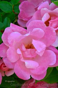 Day 133: Pink Roses - May 12,2012