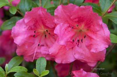 Day151: Pink Azaleas - May 30, 2012.