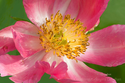 Day 138: Pink Peony - May 17, 2012